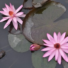 water-lilies-1072235_640